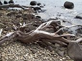Gnarled Driftwood