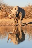 Black Rhino - Rare and Endangered Species from Africa