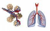 image of respiration  - Alveoli in lungs  - JPG