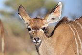 picture of calf  - A Kudu Antelope calf  - JPG