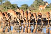 Impala - Wildlife Background from Africa - Gathering of the Beautiful