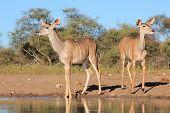 Kudu - Wildlife Background from Africa - Cautious Beauties