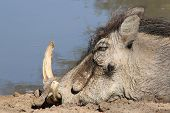Warthog Nap - Relaxation of African Wildlife