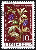 Postage Stamp Russia 1972 Nightshade, Solanaceae, Medical Plant