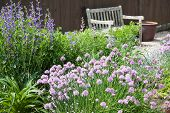 stock photo of chive  - Chives flowers blossoming in a herb garden - JPG