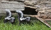 foto of skunk  - Young pair of skunks looking at the camera - JPG
