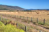 stock photo of pch  - Grazing Cattle Overlooking Pacific Ocean along the California Central Coast - JPG
