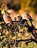 Tres palomas Ocotillo