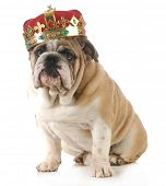 dog wearing crown - english bulldog wearing king's crown sitting looking at viewer isolated on white