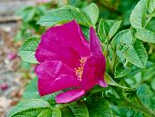 Flower Of Rugosa Rose Macro