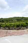 picture of valencia-orange  - Orange orchard - JPG