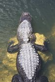 stock photo of crocodilian  - a picture of an alligator in the sunlight - JPG