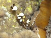Pacific Clown Anemone Shrimp