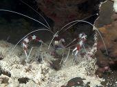 Banded Boxer Shrimp