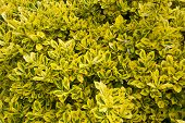 Close up of a variegated box hedge shrub.