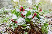 foto of frostbite  - Red Trillium erectum caught in an unexpected late spring snowfall. A reminder to gardeners against planting too early in the gardening season. ** Note: Shallow depth of field - JPG
