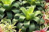 picture of bromeliad  - Bromeliads is a plant  with beautiful leaves - JPG