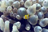 Bubble Anemone And Anemonefish