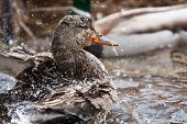 Female Mallard Swimming And Splashing