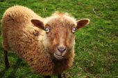 Sheep Evil Eye