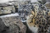 stock photo of snow-leopard  - Close - JPG