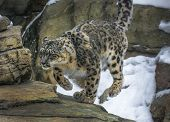 stock photo of panthera uncia  - Close - JPG