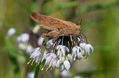 stock photo of locusts  - Carolina Locust on a wild onion plant - JPG