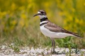 pic of killdeer  - Killdeer on a road in Horicon Marsh - JPG
