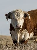 foto of hereford  - A large horned Hereford bull in a pasture - JPG