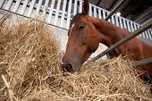 stock photo of feeding horse  - A close up of the mouth of a horse as it eats hay - JPG