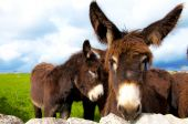 picture of soma  - group of donkeys near the wall of stones with grass and sky background - JPG