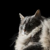 Angora Siberian male cat with odd eyes, isolated, black background