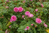 picture of century plant  - The famous Rosa Centifolia Foliacea  - JPG