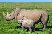 Rhino mother and calf standing in grass