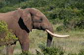 picture of tusks  - Elephant with long tusks in bush - JPG