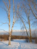 Birch Trees along snowy path with blue skies
