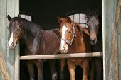 Horses looking away in the barn
