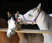 Close-up of youngster arabian horses in stable