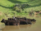 foto of wallow  - Free range black angus cattle wallowing in a pond - JPG