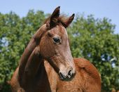 stock photo of colt  - Little colt in action at the paddock - JPG