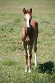 Few weeks old baby horse