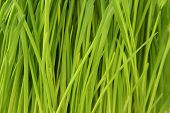 Young Green Oat Shoots - Close-up