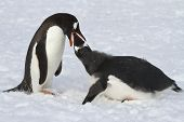 Gentoo Penguin Female Feeding Adult Chick