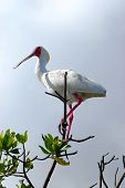 African Spoonbill In Casamance, Senegal, Africa