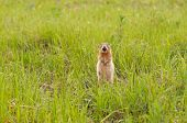 Ground Squirrel In Field