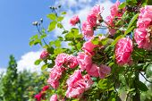 pic of garden eden  - Pink rosa in an ornamental garden with selective focus against a blue sky - JPG