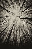 pic of spooky  - upward view in a dark spooky forest sepia on Halloween - JPG