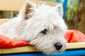 foto of west highland white terrier  - a single west highland white terrier outdoors - JPG