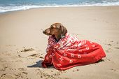 Dachshund Dog With Scarf On Beach