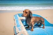 picture of horny  - Red dachshund dog on boat on the beach - JPG
